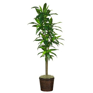 "70"" Dracena W/Basket Silk Plant (Real Touch)"