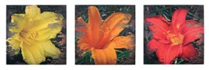 Lilies Canvas Set of 3