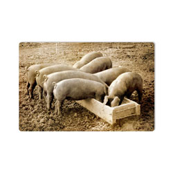Pigs Behind Vintage Metal Sign